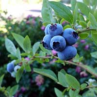 Blueberries: Sweet, Juicy, Healthy - Plant